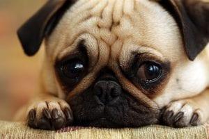 sad-pug-puppy